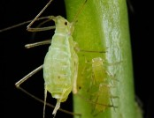 Aphid Shipher Wu
