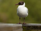 Black headed gull ric jackson