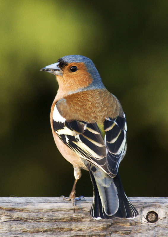 Chaffinch  MichaelMaggs via Wikimedia Commons