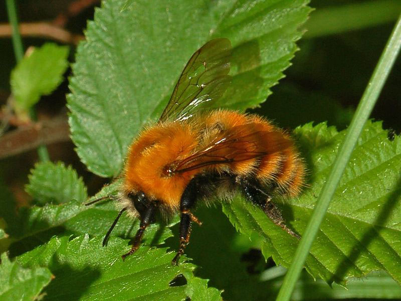 Common carder bee Hectonichus