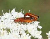 Common red soldier beetle IronChris