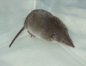 Common shrew wikimedia commons