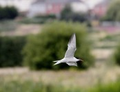 Common tern michael horne
