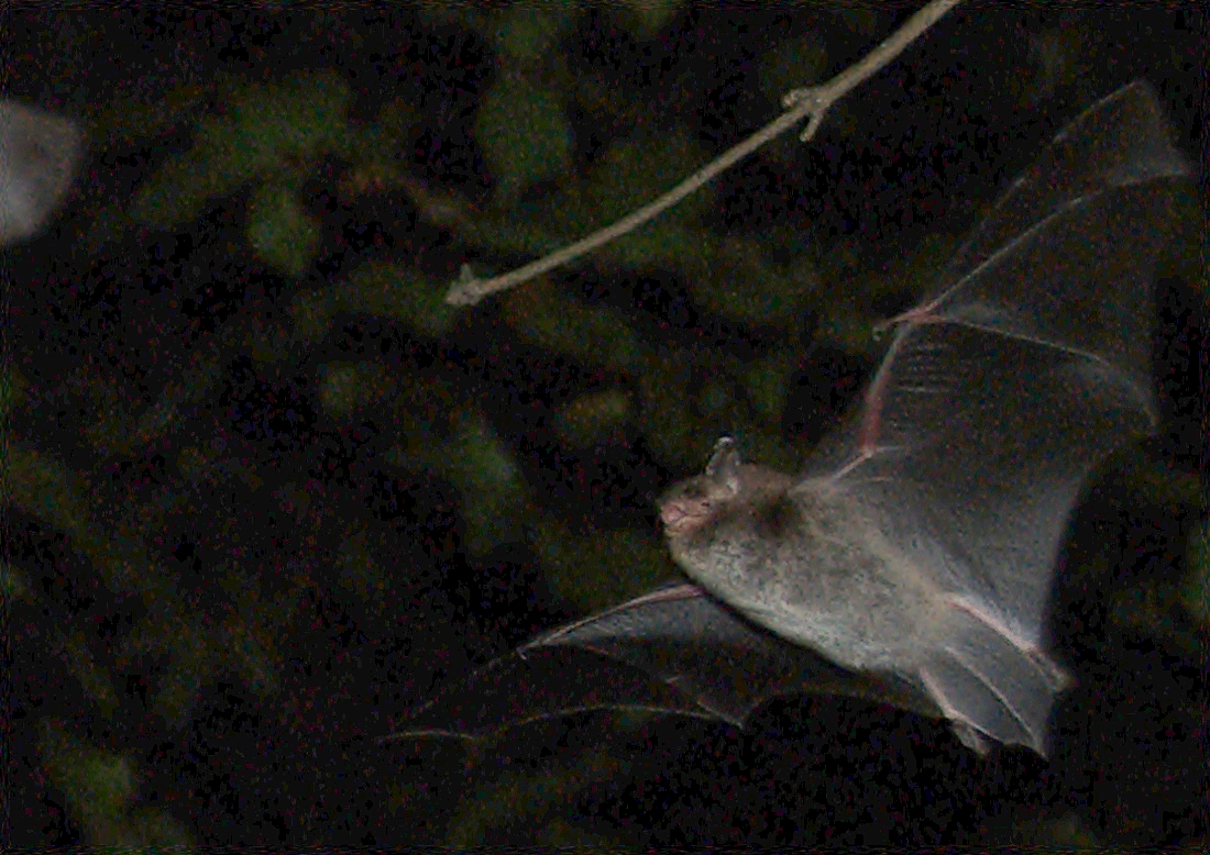 Daubentons bat wikimedia commons (Guido Gerding )