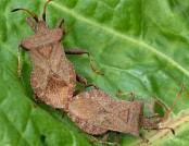 Dock bug coreus-marginatus Gary Houston