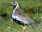 Golden plover wikimedia commons