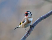 Goldfinch tony smith