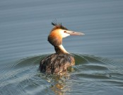 Great crested grebe john abbott