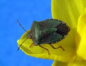 Green_shield_bug_(Palomena_prasina) Charlesjsharp