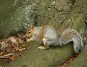 Grey squirrel rachel (flickr)