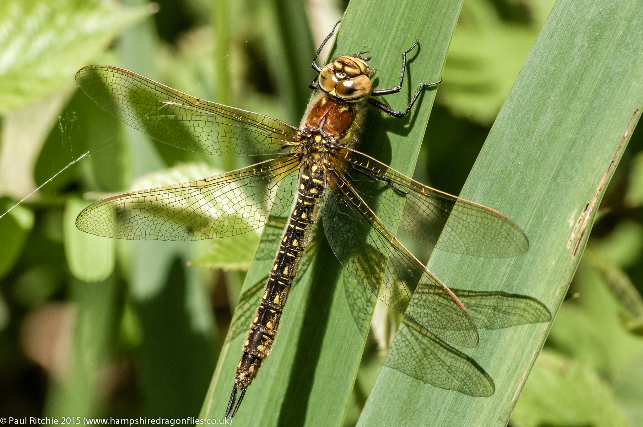 Hairy Dragonfly - female