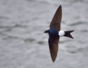 House martin tom lee