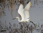 Little egret Darren