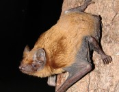 Noctule bat wikimedia commons