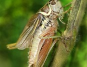 Roesels bush cricket Metrioptera_roeseli_male_Richard_Bartz
