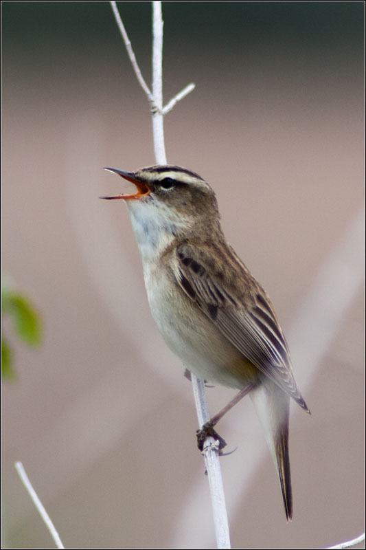 Sedge Warbler  Photo by Tony Court