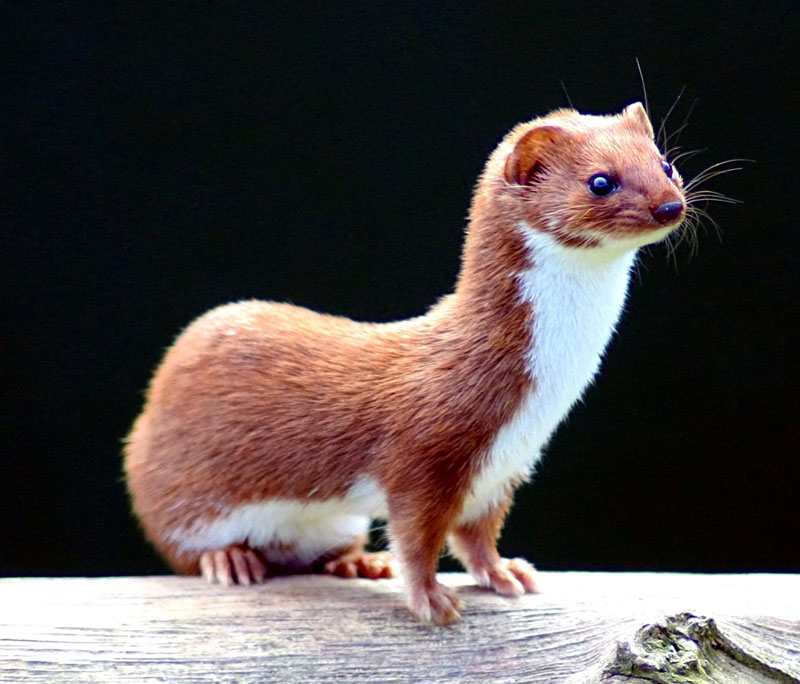 Weasel Kevin Law
