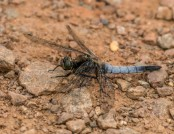 black-tailed skimmer glyn pacan