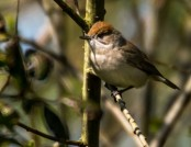 blackcap female glyn pacan