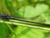 blue tailed damselfly Rachel (flickr)