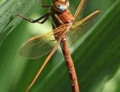 brown hawker Rachel