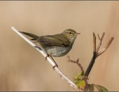 chiffchaff tony smith