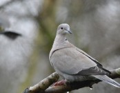 collared dove jacob spinks