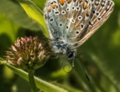 common blue butterfly glyn pacan
