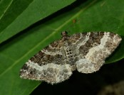 common carpet moth hamon jp