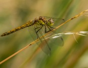 common darter glyn pacan
