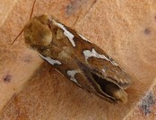 common swift moth gailhampshire