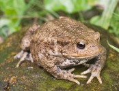 common toad tony morris
