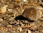 field vole peter trimming