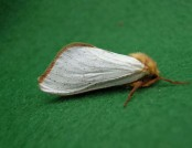 ghost moth male Graham Gavaghan