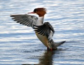 goosander tony armstrong