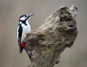 great spotted woodpecker Martha de Jong-Lantink