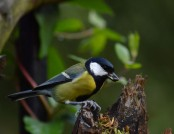 great tit jacob spinks