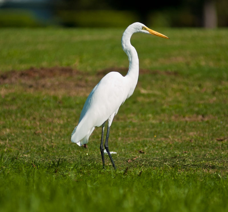 great white egret jimsideas