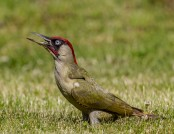 green woodpecker andy morffew