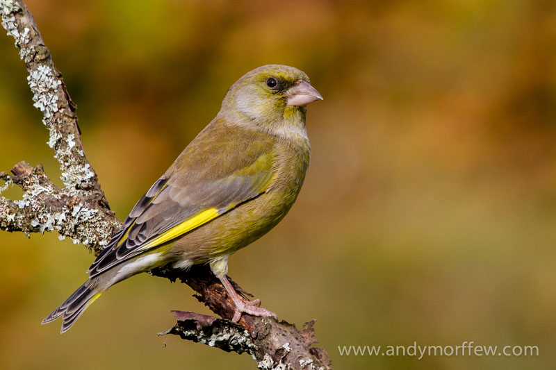 greenfinch andy morffew