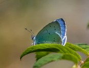 holly blue glyn pacan