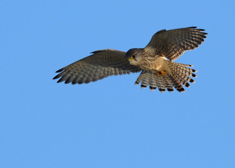 kestrel tim spouge
