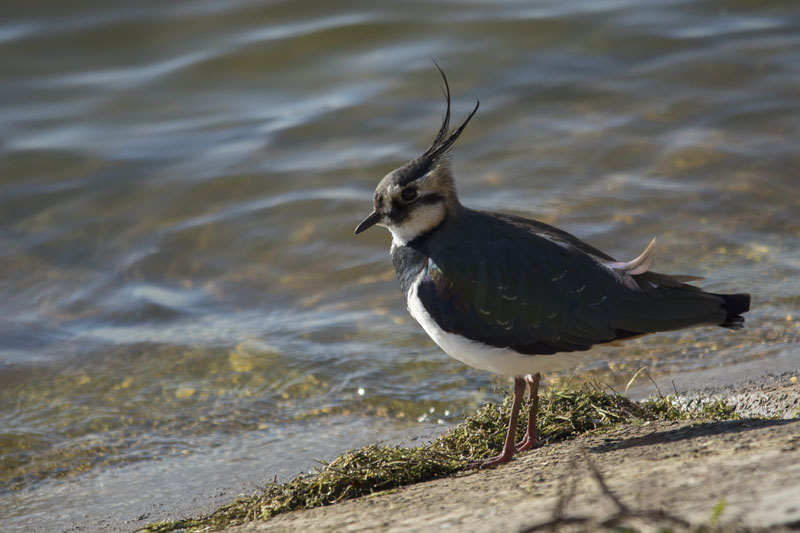 lapwing jacob spinks