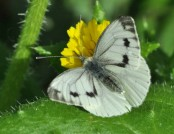 large white butterfly john abbott