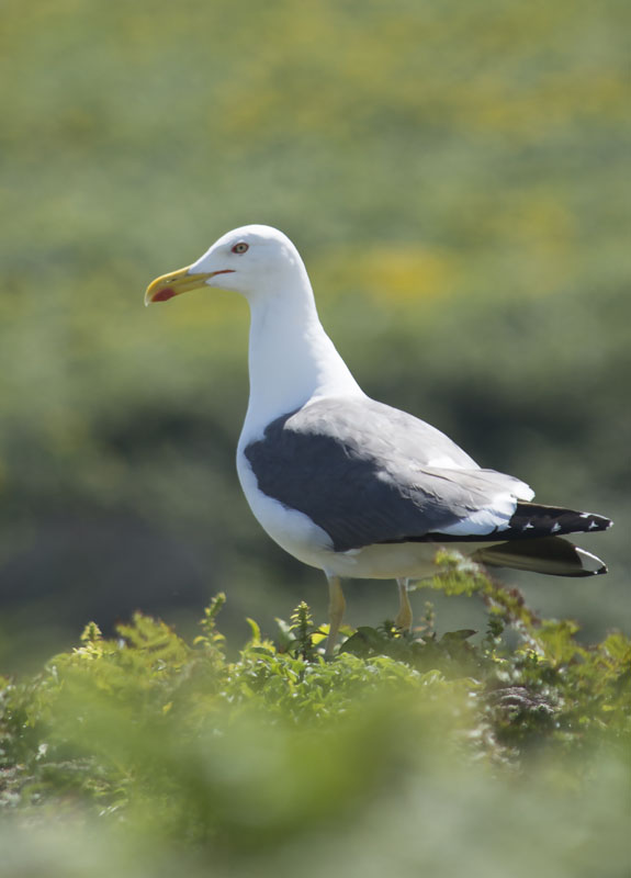 lesser black backed gull jacob spinks