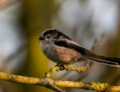 long-tailed tit Glyn Pacan