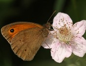 Meadow brown Rachel (flickr)