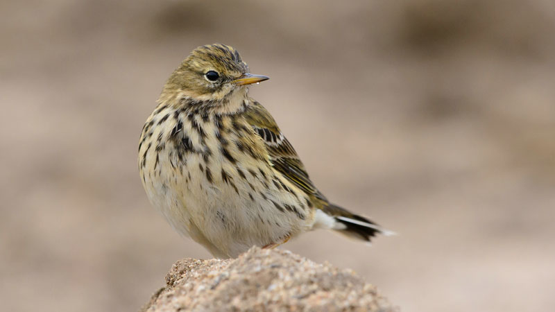 meadow pipit Rob Zweers