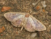 mother of pearl moth rachel (flickr)