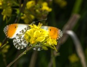 orange tip glyn pacan